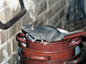 How to Eliminate Roof Rats in Attics and Crawlspaces