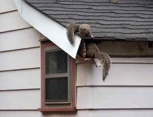 When are squirrels most active in an attic or crawlspace?