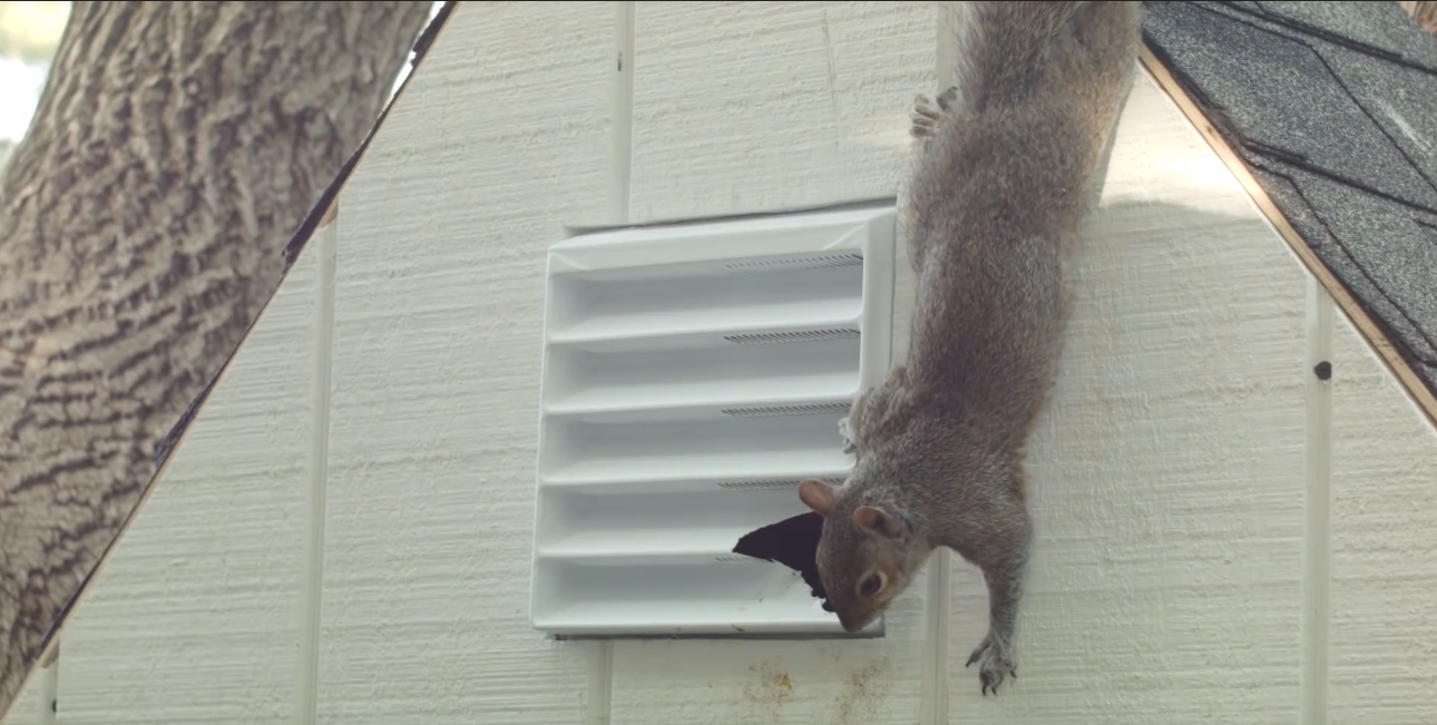 Squirrel Gaining Access to Shed through Chewed Gable Vent
