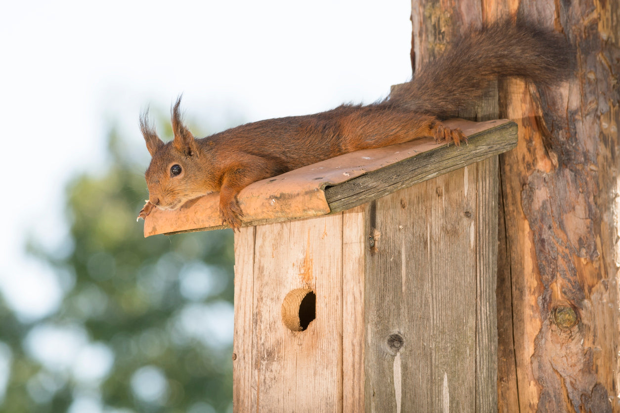 Pleasant Learn How To Get Rid Of Squirrels In Attics Crawlspaces Beutiful Home Inspiration Ommitmahrainfo