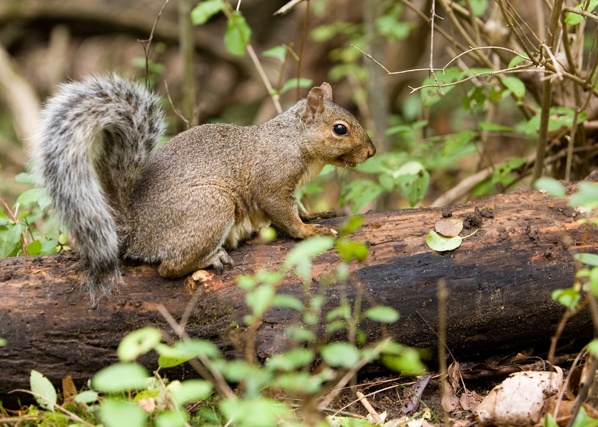 Learn How to Get Rid of Squirrels in Attics & Crawlspaces and Evict ...