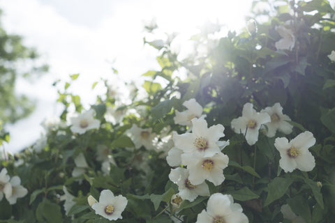 Mock Orange in the Summer - Fawn. Interior Design Studio.