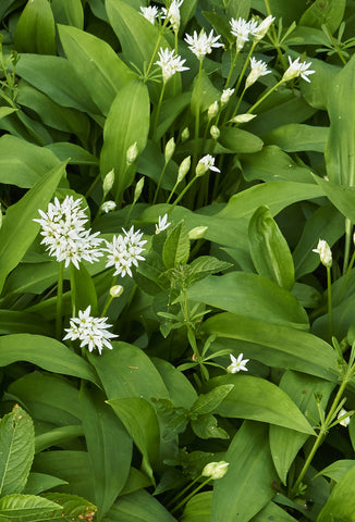 Wild Garlic - Fawn. Interior Design Studio.