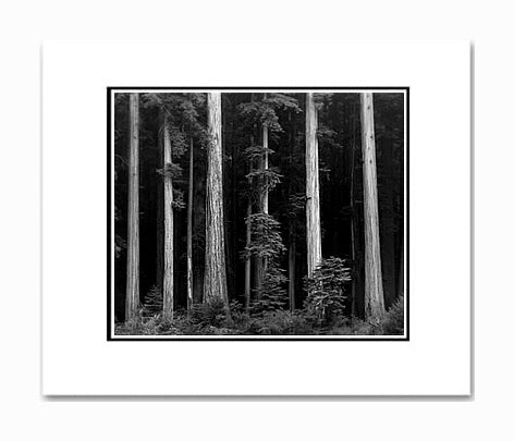 Ansel Adams Redwoods, Bull Creek Flats, California Matted Reproduction