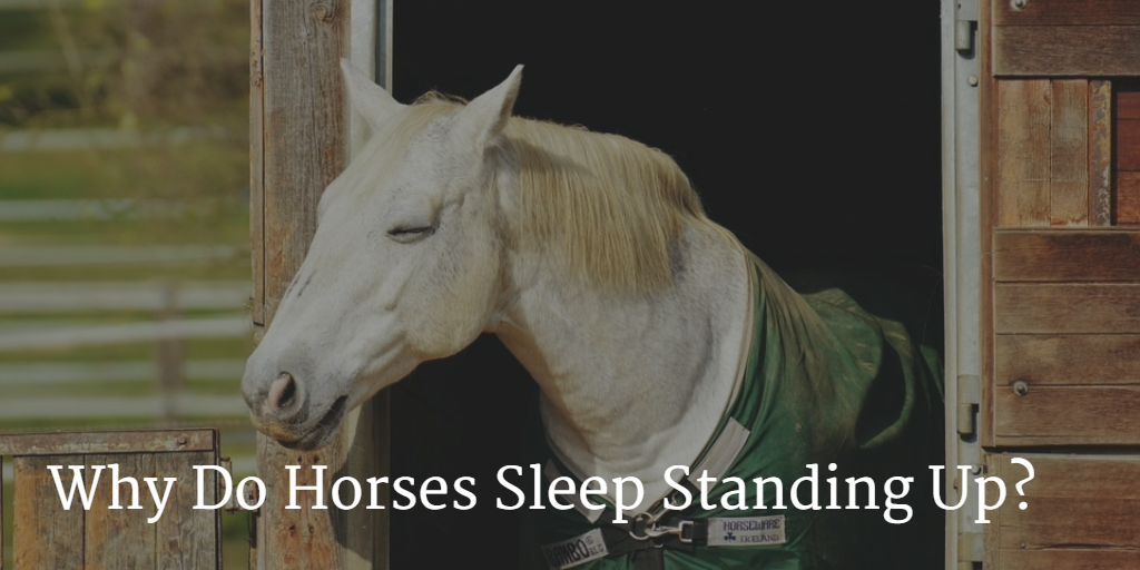 Why Do Horses Sleep Standing Up Equestrian Co