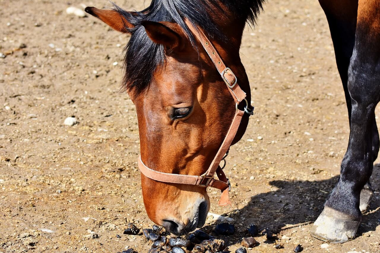 4 Reasons Why Horses Eat Poop - And What You Can Do About It!