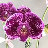 CNY Phalaenopsis Orchids Gift Set - Orchids - Luxe Florist - Purple Spotted - Eat Cake Today - Birthday Cake Delivery - KL/PJ/Malaysia