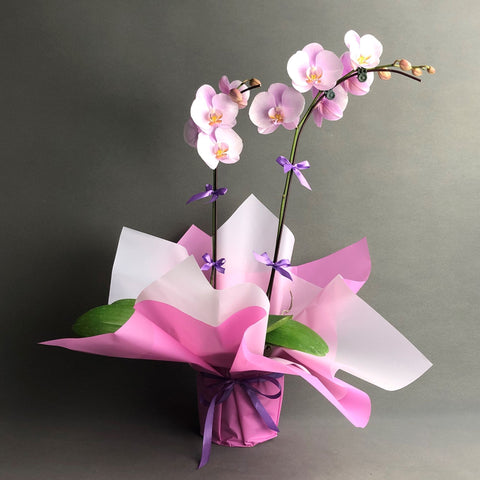 Lavender Blush Phalaenopsis Orchids - Orchids - Luxe Florist - - Eat Cake Today - Birthday Cake Delivery - KL/PJ/Malaysia