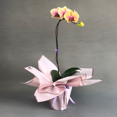 Pastel Peach & Lavender Bicolor Phalaenopsis Orchids - Orchids - Luxe Florist - - Eat Cake Today - Birthday Cake Delivery - KL/PJ/Malaysia