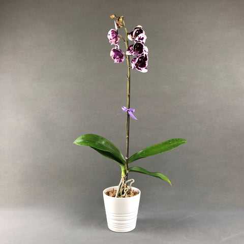 White Harlequin Phalaenopsis Orchids - Orchids - Luxe Florist - - Eat Cake Today - Birthday Cake Delivery - KL/PJ/Malaysia