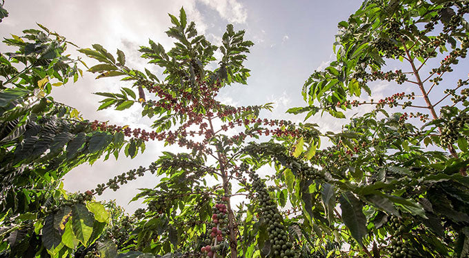 The Coffee Growing Process: From Farm to Table