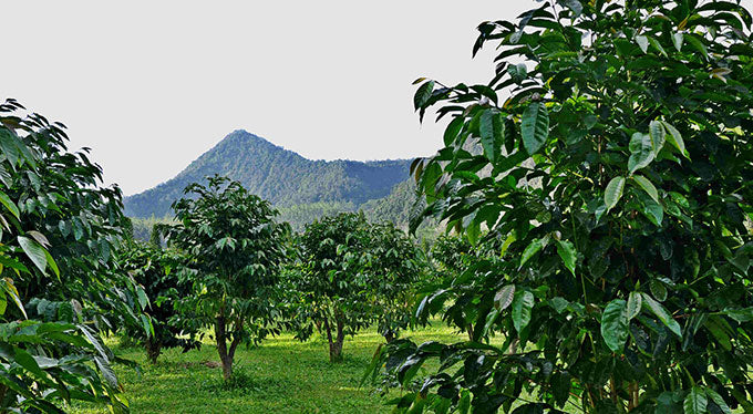 The Ultimate Guide to Kona Coffee