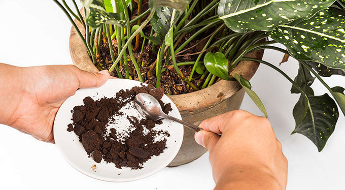 coffee grounds plants