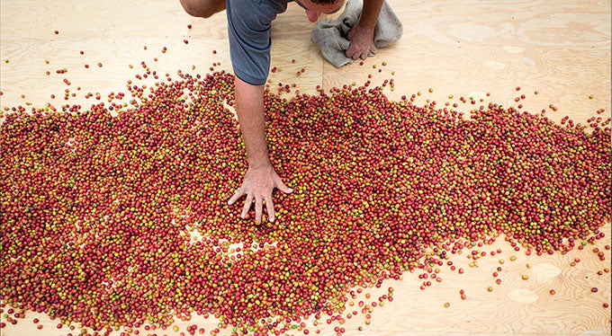 kona coffee drying