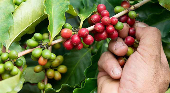 kona coffee harvesting