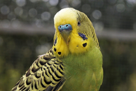 Picture of a budgie