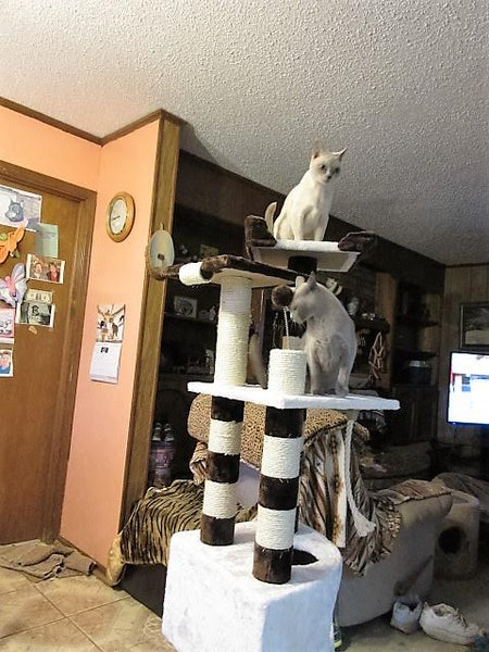 Burmese cats on a Kitty Mansion cat tree