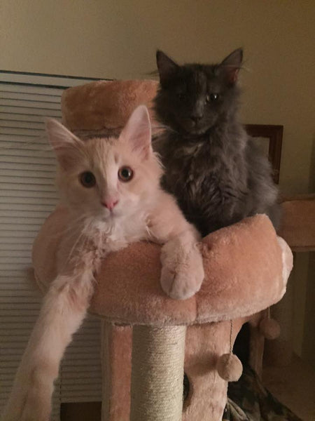 Two cats loving their new Kitty Mansions cat tree