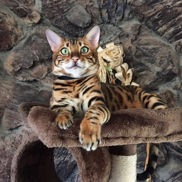 Beautiful Bengal on a Kitty Mansions cat tower