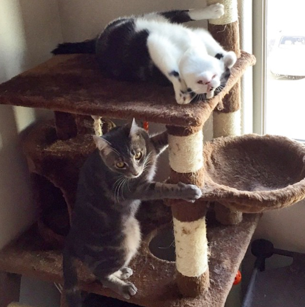 Silly cats on their Kitty Mansion cat furniture
