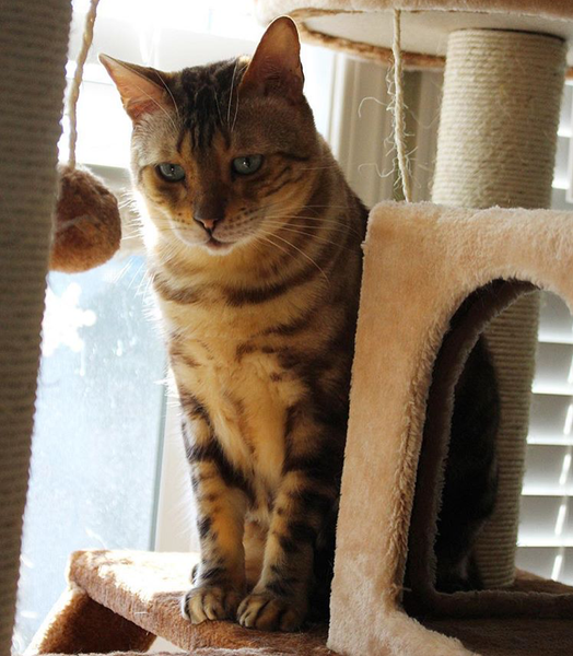 Bengal on a Kitty Mansions cat tree