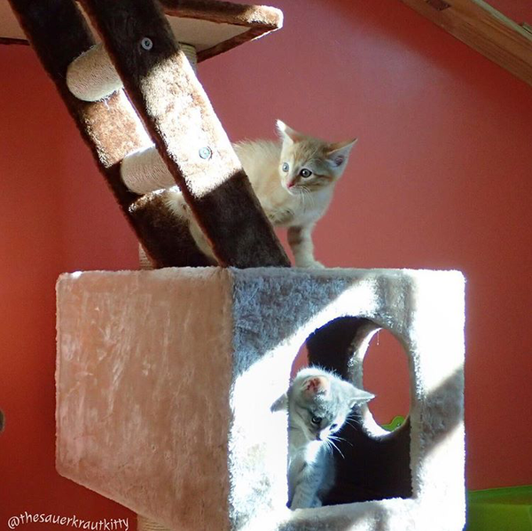 Sauer Kraut Kitty's foster room cats on their Kitty Mansion