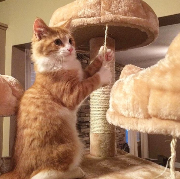 Cute cat caught in the act on his Kitty Mansion cat tower
