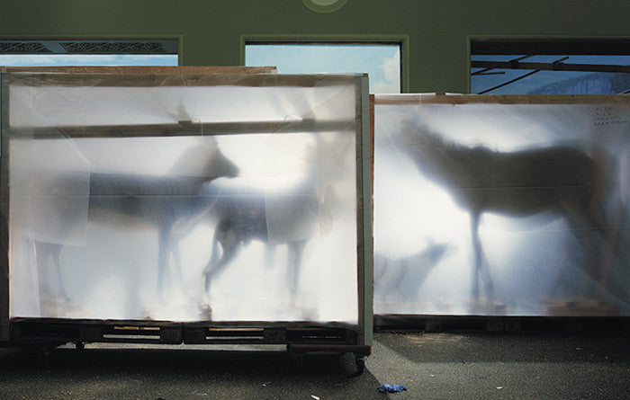Richard Barnes - Backlit Hoofed Animals from Animal Logic - available in 3 sizes, Chromogenic Print Mounted to Archival Substrate, Framed in White with Plexiglass,  - Bau-Xi Gallery