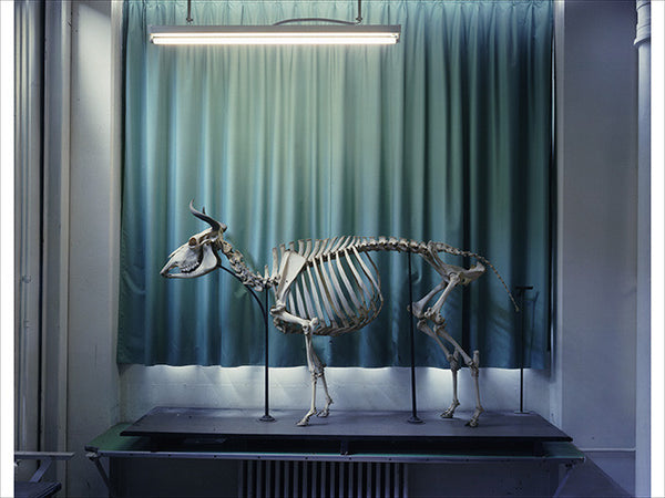Richard Barnes - Right Panel, Cow, Musee Fragonard, Paris, Chromogenic Print Mounted to Archival Substrate, Framed in White with Plexiglass,  - Bau-Xi Gallery