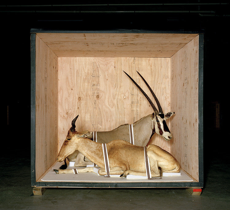 Richard Barnes - Smithsonian Antelope from Animal Logic - available in 3 sizes, Chromogenic Print Mounted to Archival Substrate, Framed in White with Plexiglass,  - Bau-Xi Gallery