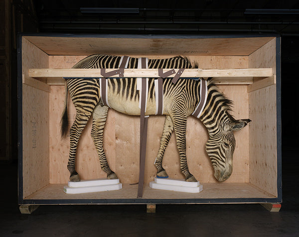 Richard Barnes - Smithsonian Zebra from Animal Logic - available in 3 sizes, Chromogenic Print Mounted to Archival Substrate, Framed in White with Plexiglass,  - Bau-Xi Gallery