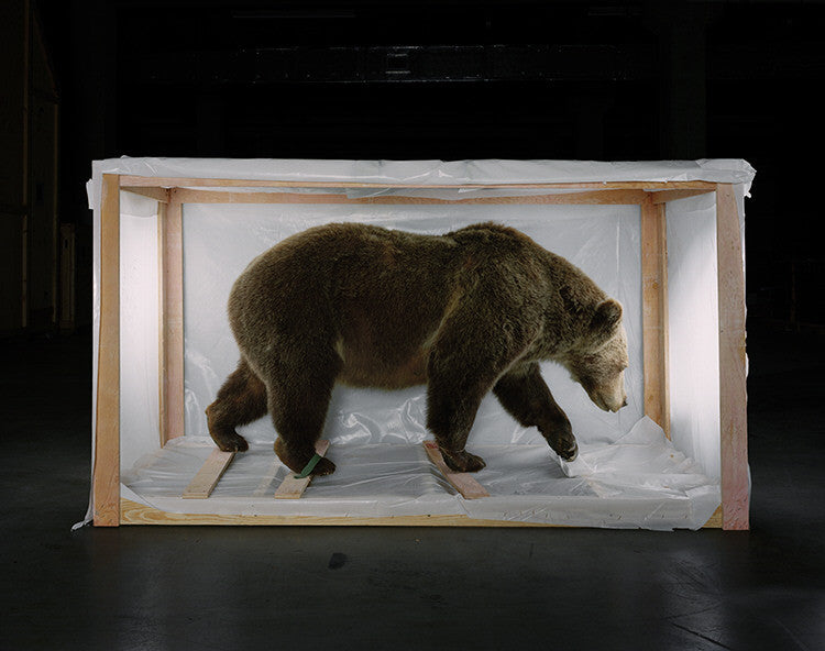 Richard Barnes - Smithsonian Bear from Animal Logic - available in 3 sizes, Chromogenic Print Mounted to Archival Substrate, Framed in White with Plexiglass,  - Bau-Xi Gallery