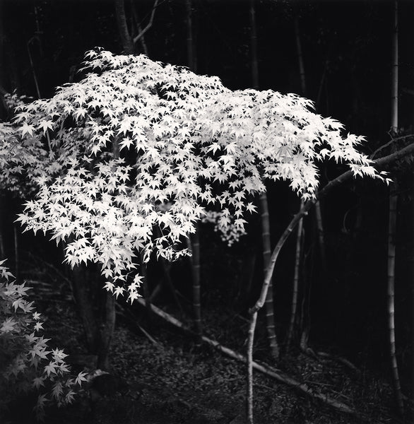 Michael Kenna - Maple Tree in Autumn, Kyoto, Honshu, Sepia toned silver gelatin print, framed in grey with museum glass,  - Bau-Xi Gallery