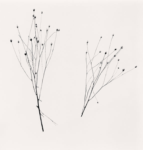 Michael Kenna - Two Winter Stalks, Biei, Hokkaido, Sepia toned silver gelatin print, framed in grey with museum glass,  - Bau-Xi Gallery