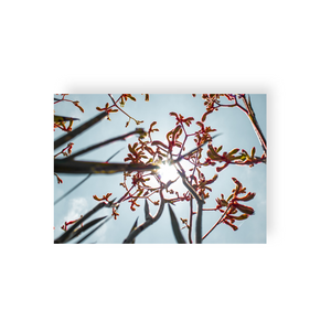 Commercial License Kangaroo Paw