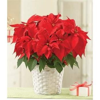 Poinsettia Plant Same Day Delivery - Fine Gifts La Bella Basket Company