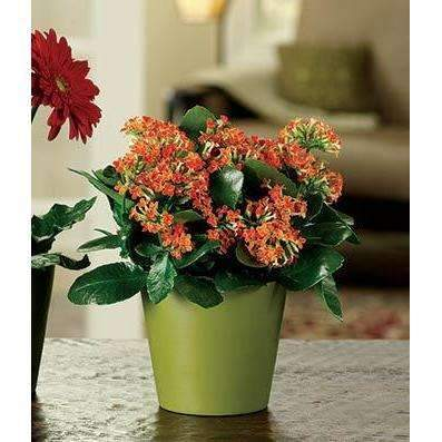 Colorful Kalanchoe Flowering Plant - Fine Gifts La Bella Basket Company