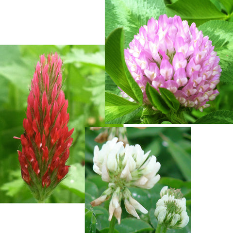 Trifolium Mix, Mixed Clover Seed Balls for Bees & Butterflies - Seed-Balls.com
