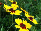 Plains Coreopsis Guerrilla Droppings (Coreopsis tinctoria) - Seed-Balls.com  - 5