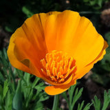California Poppy Guerrilla Droppings (Eschscholzia californica) - Seed-Balls.com  - 2