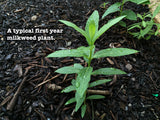 Asclepias speciosa, Showy Milkweed Seed Balls - Seed-Balls.com  - 7