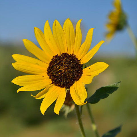 Helianthus annuus, Wild Sunflower Seed Balls for Fall - Seed-Balls.com  - 1