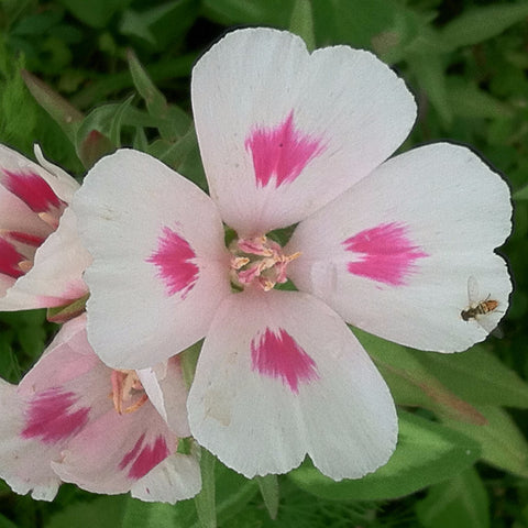 Fundraiser #12- Clarkia amoena, Farewell-to-Spring Seed Balls - Seed-Balls.com  - 1