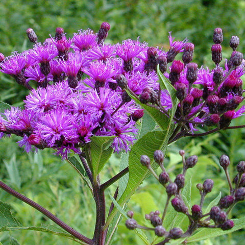 Fundraiser #10- Vernonia fasciculata, Ironweed Seed Balls - Seed-Balls.com  - 1