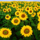 Helianthus annuus, Black Oil Sunflower Seed Balls for Spring - Seed-Balls.com  - 1