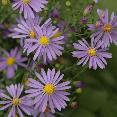 Smooth Blue Aster (Symphyotrichum laeve) Seed Balls - Seed-Balls.com  - 1