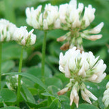 Dutch White Clover Guerrilla Droppings (Trifolium repens) - Seed-Balls.com  - 4