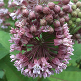 Fundraiser # 1 - Asclepias syriaca, Common Milkweed Seed Balls - Seed-Balls.com  - 1