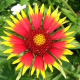 Indian Blanketflower Guerrilla Droppings (Gaillardia pulchella) - Seed-Balls.com  - 5