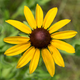 Black Eyed Susan Guerrilla Droppings (Rudbeckia hirta)